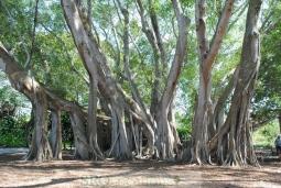 banyan-tree-14