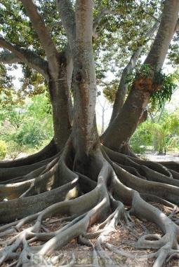 banyan-tree-16