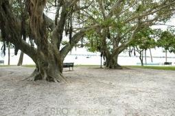 banyan-trees-11