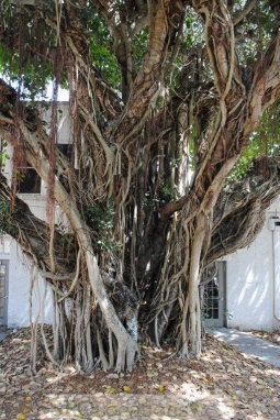banyon-trees-1