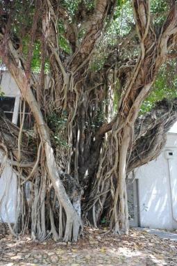 banyon-trees-2