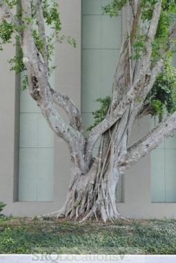 banyon-trees-3