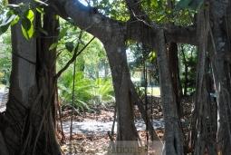 banyon-trees-5